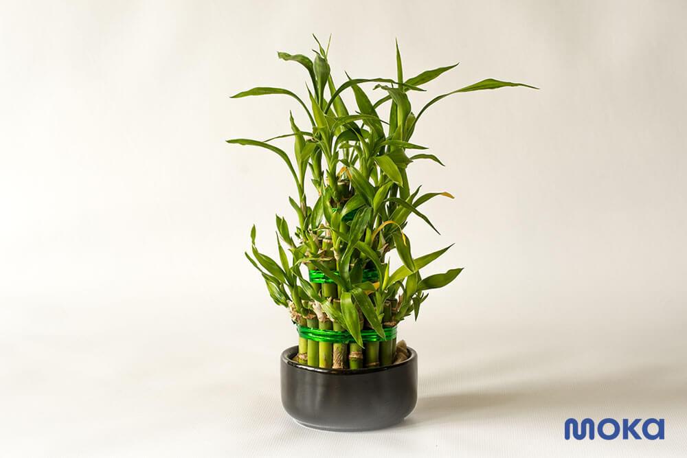 lucky bamboo - bambu hoki untuk tahun baru imlek