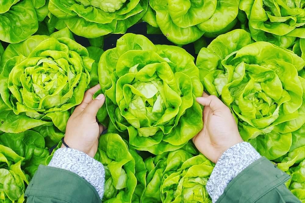 petani - urban farmer - sayuran